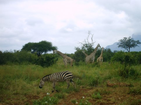 Giraffes in Tsavo West National Park, Kenya