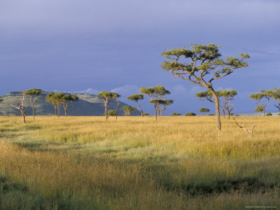 umbrella acacia trees, masai mara, kenya
