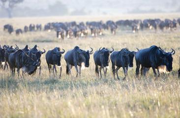 wildebeest migration, masai mara, kenya