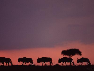 wildebeests at dusk, masai mara, kenya