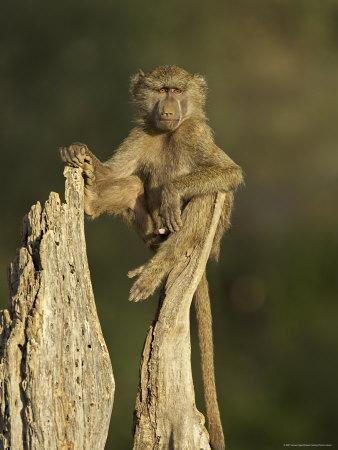 young male olive baboon at samburu national reserve, kenya
