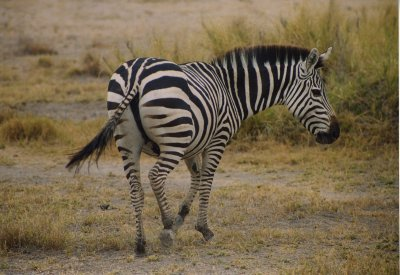 zebra in amboseli national park, kenya